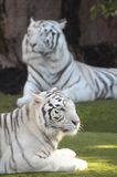 Black and White Striped Tiger. Rare Black and White Striped Adult Tiger royalty free stock photos