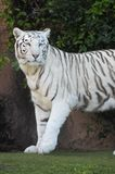 Black and White Striped Tiger Stock Photo