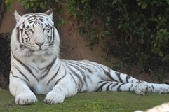 Black and White Striped Tiger. Rare Black and White Striped Adult Tiger stock photography