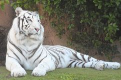 Black and White Striped Tiger Stock Photos