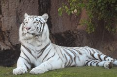 Black and White Striped Tiger. Rare Black and White Striped Adult Tiger stock image