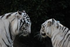 Black and White Striped Tiger. Rare Black and White Striped Adult Tiger stock images