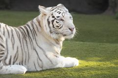 Black and White Striped Tiger. Rare Black and White Striped Adult Tiger royalty free stock photo