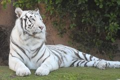 Black and White Striped Tiger Stock Photography