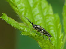 Black and White Striped Wasp on a Leaf Royalty Free Stock Photography