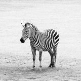 Black and white striped zebra Royalty Free Stock Images