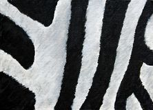 Abstract texture of zebra`s skin Stock Photo
