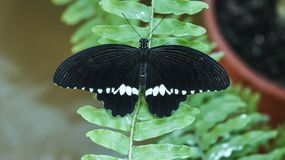 Black with white stripes butterfly Common Mormon. Papilio polytes , male, is found in Asia, in natural habitat of green forest Royalty Free Stock Photos