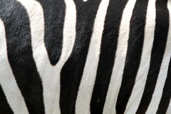 Black and white stripes zebra Royalty Free Stock Images
