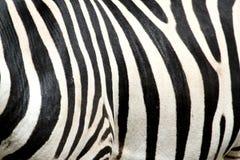 Black and white stripes zebra Stock Images