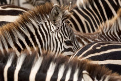 Black and white stripes of zebras Stock Photography