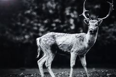 Deer in parkland. Black and white study of a deer in parkland Royalty Free Stock Photos