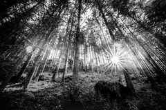 Black and white summer forest and sun rays royalty free stock photography