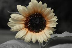 Black and white sunflower. A close up of a black and white sunflower Royalty Free Stock Photography