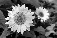 Black and white sunflower Royalty Free Stock Photo