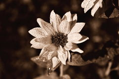 Black, white Sunflower flower Royalty Free Stock Photography