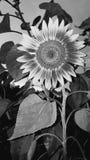 Black and white sunflower Stock Photo
