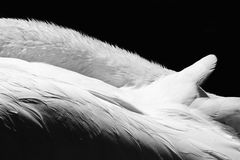 Black and White Swan. Elegant close-up photo of a Trumpeter Swan Resting Royalty Free Stock Photos