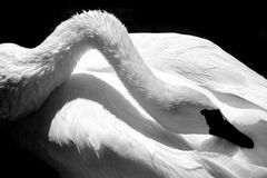 Black and White Swan. Elegant close-up photo of a Trumpeter Swan Resting Stock Image