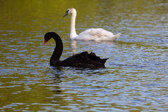 Black and white swan on lake. Black swan on lake in early evening royalty free stock image