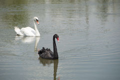 Black and white swan. Royalty Free Stock Photos