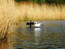 Black and white swan on the lake Stock Image