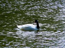 Black and white swan on a lake in the park of Gijón, Asturias. Spain. Europe royalty free stock photos