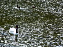 Black and white swan on a lake in the park of Gijón, Asturias. Spain. Europe royalty free stock photography