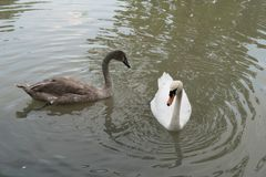 Black and white swans. On lake Royalty Free Stock Photos