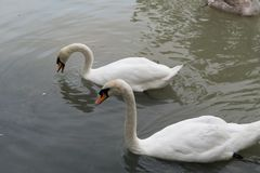 Black and white swans. On lake Stock Image