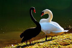 Black and White Swans in heart shape Royalty Free Stock Photography