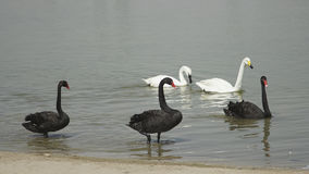Black and white swans. Swans in the lake swimming Royalty Free Stock Photography