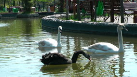 Black and white swans in the park Royalty Free Stock Images