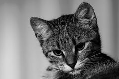 Black White Tabby Cat Royalty Free Stock Photo