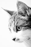 Black and white Tabby Cat portrait in high key exposure. Royalty Free Stock Photo