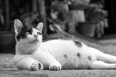Black and white tabby cat portrait. Stock Photography
