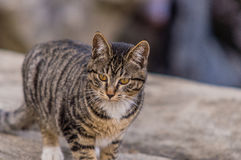 Black and white tabby cat standing on a large bolder Royalty Free Stock Photo