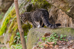 Black and white tabby cat standing on a large bolder Stock Photography