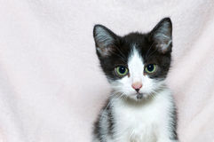 Black and white tabby kitten on pink blanket Royalty Free Stock Photo