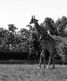 Black and white tall giraffe at the zoo in the summer Royalty Free Stock Photo