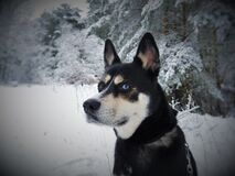 Black White and Tan Eas Siberian Laika Dog in Snow Royalty Free Stock Images