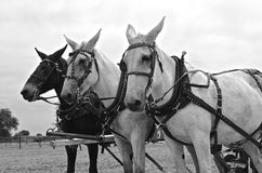 Black and White: Team of three harnessed mules Royalty Free Stock Photo