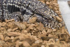 Black and white tegu , Argentine giant tegu, Tupinambis merianae Royalty Free Stock Image