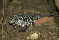 Black and white tegu, Foz do Iguacu, Brazil Royalty Free Stock Image