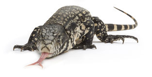 Black and White Tegu Lizard Royalty Free Stock Photos