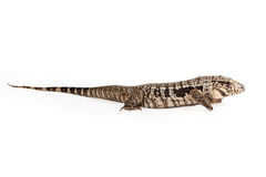 Black and White Tegu Profile Stock Photos