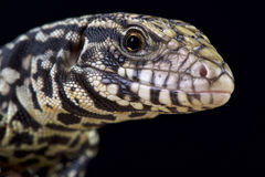 Black and white tegu (Salvator merianae). The Argentine black and white tegu (Salvator merianae) is a giant lizard species. These are omnivores originally found Royalty Free Stock Images