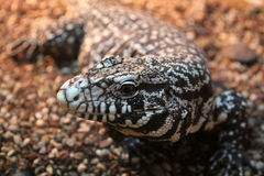 Black and White Tegu Salvator merianae Royalty Free Stock Photo