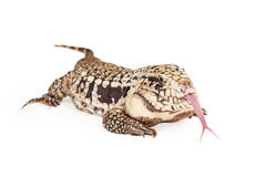 Black and White Tegu Sticking Out Forked Tongue Stock Photo
