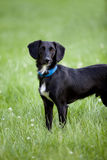 Black and white terrier mix dog standing in long green grass Royalty Free Stock Photography